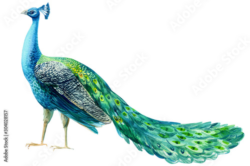 Wallpaper Mural peacock bird on a white background, watercolor hand drawing