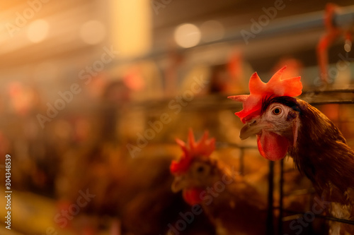 Stampa su Tela Chicken farm