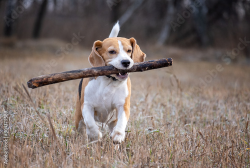 Canvas Print dog breed Beagle playing with a stick during a walk