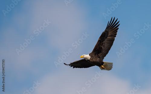 bald eagle in flight Tapéta, Fotótapéta