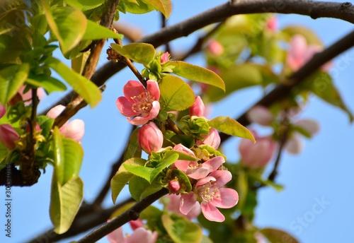 Photographie 果樹のカリンの花が咲く