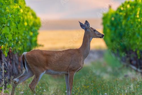 Canvas-taulu Deer in the Vineyards