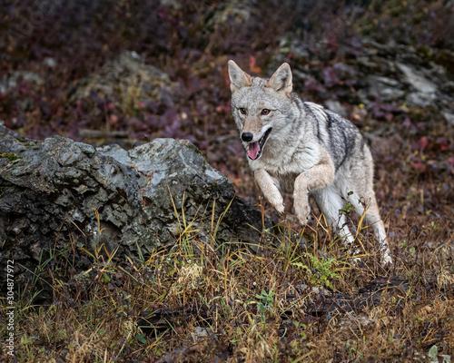 Coyote in Fall colors in Montana, USA Tapéta, Fotótapéta