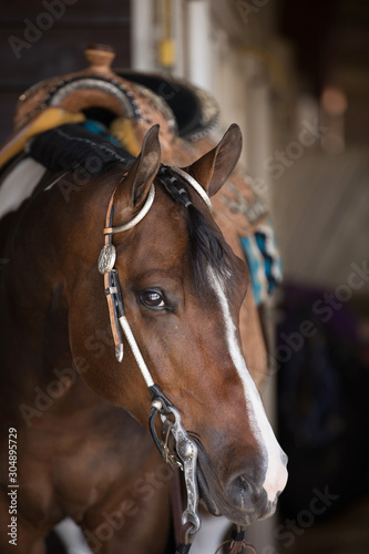 Fototapeta Western Paint Horse Portrait