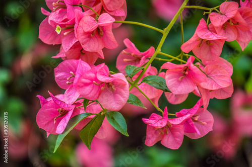 Fotomural Macro closeup of pink bougainvillea flower with petals blooming in a garden