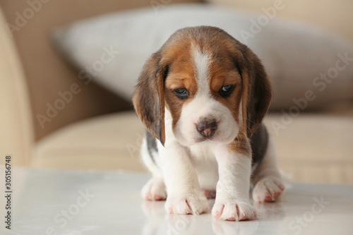 Wallpaper Mural Cute beagle puppy at home