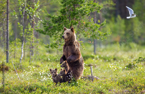Tela She-bear with cubs in a forest glade