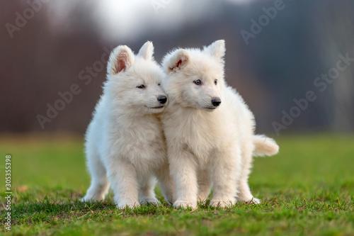 Fototapeta Puppy cute White Swiss Shepherd dog portrait on meadow