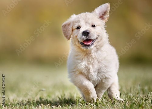 Canvas Print Seven week old golden retriever puppy outdoors on a sunny day.