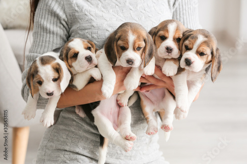 Fototapeta Owner with cute beagle puppies at home