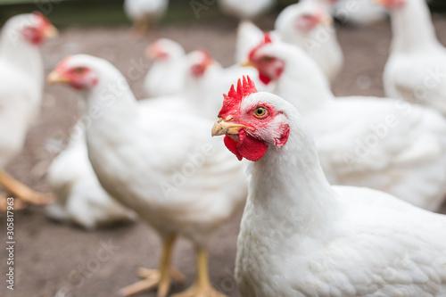 Leinwand Poster White broiler chicken