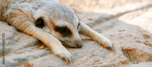 Photo Adorable meerkat outside in nature during the day.