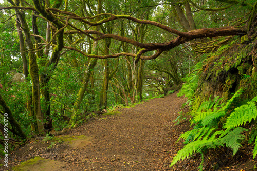Lush laurel forest on Tenerife, Canary Islands, Spain