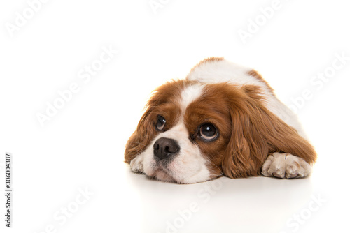 Valokuva Adorable Cavalier King Charles Spaniel dog lying down on the floor looking away