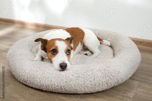 Photo dog in a pet bed. Jack Russell Terrier at home on a soft mattress