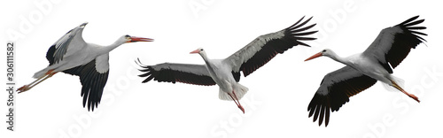 Fotografie, Obraz Collection flying storks isolated on white