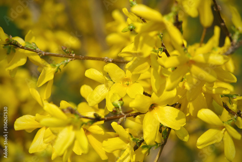 Slika na platnu Closeup of forsythia flowering bush