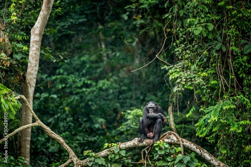 Valokuva Bonobo on the branch of the tree in natural habitat
