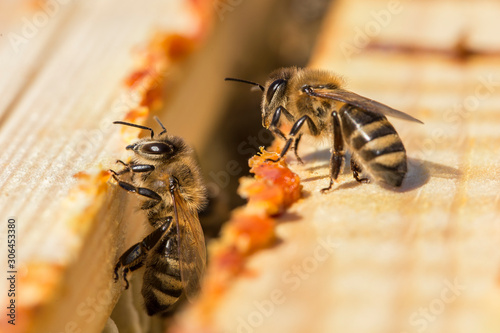 Canvas Print bees work on laying propolis in a hive
