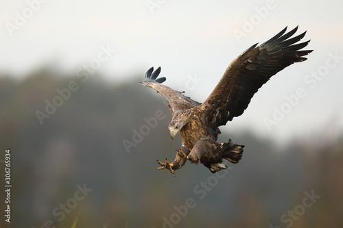 Valokuva White tailed eagle (Haliaeetus albicilla)