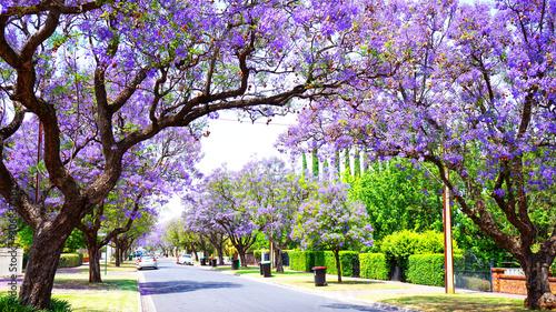 Fototapeta premium Beautiful purple flower Jacaranda tree lined street in full bloom. Taken in Allinga Street, Glenside, Adelaide, South Australia.