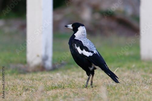 Photo australian magpie