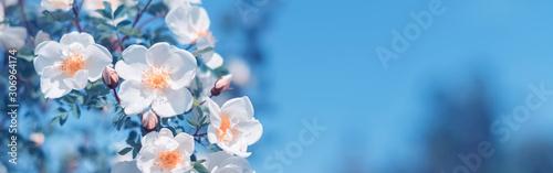 Fotografia Beautiful spring border, blooming rose bush on a blue background