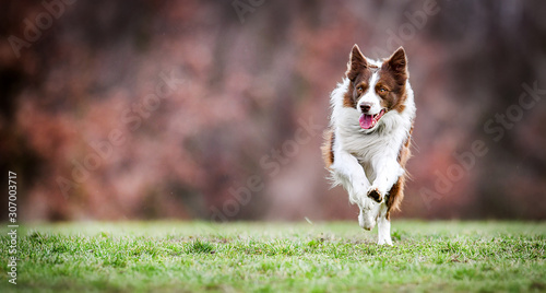 Foto Adult brown white border collie run very fast in training day