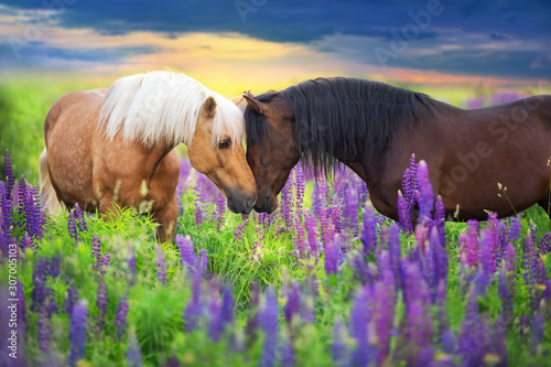 Photo Palomino and bay horse with long mane in lupine flowers at sunset