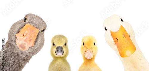 Billede på lærred Portrait of a goose, gosling, duckling, duck isolated on a white background