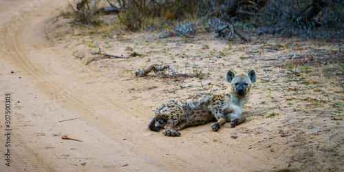 Canvas-taulu hyena in kruger national park, mpumalanga, south africa 20