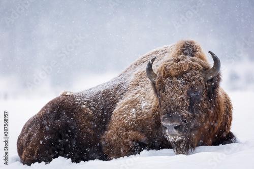 Wallpaper Mural Bison or Aurochs in winter season in there habitat