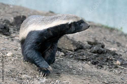 Honey Badger (Mellivora capensis) Fototapet