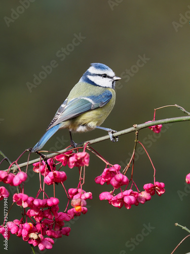 Photo Blue tit, Cyanistes caeruleus
