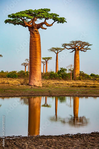 Beautiful Baobab trees at sunset at the avenue of the baobabs in Madagascar Fototapete