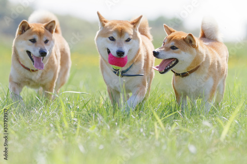 Tableau sur Toile 野原で遊んでいる柴犬