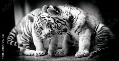 Fototapeta A pair of white tiger resting side by side