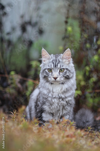 Photo Silver tabby cat outside