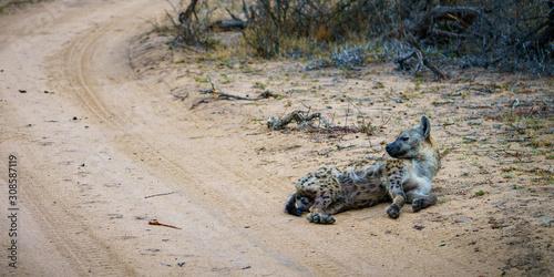 Valokuva hyena in kruger national park, mpumalanga, south africa 11