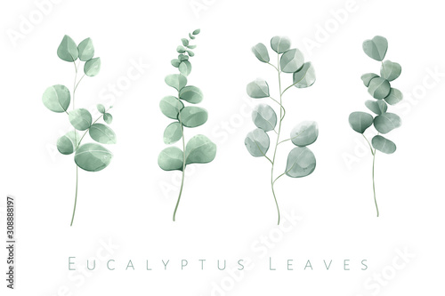 Fotografia Watercolor isolated eucalyptus leaves in set of 4 branches.