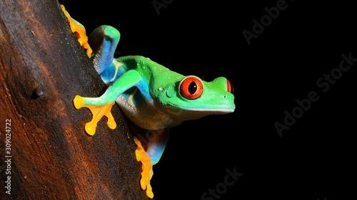 Obraz na plátně Green tree frog (Agalychnis callidryas) with red eyes, close-up