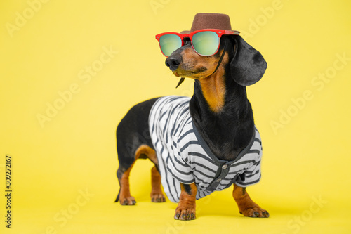 Photographie Cute black and tun dachshund dressed in summer costume, sunglasses, hat and striped t-shirt, standing on bright yellow background