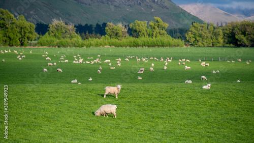 Fotografie, Obraz Flock Of Sheep In Green Pasture