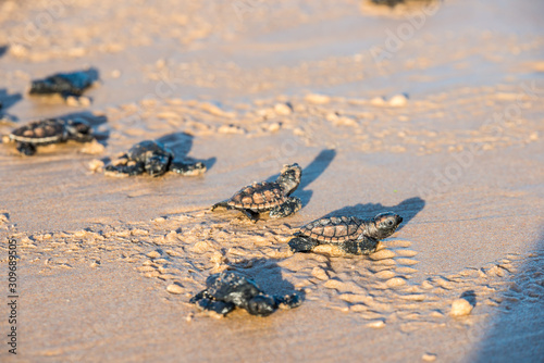 Fototapeta Six sea turtle hatchlings going to the water