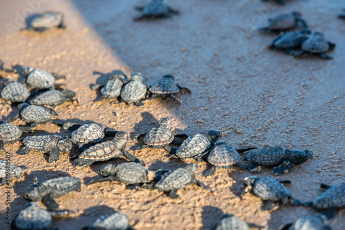 Fotografia, Obraz Group of sea turtle hatchlings going to the water