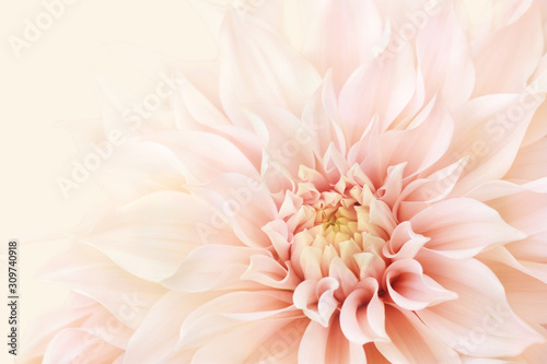 Wallpaper Mural Summer blossoming delicate dahlia, blooming flowers festive background, pastel a