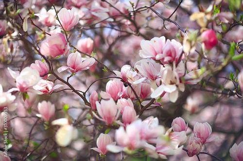 Obraz na plátně magnolia blossom spring garden / beautiful flowers, spring background pink flowe