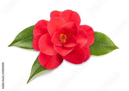 Tela Red camellia flower
