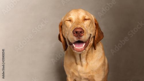 Canvas Print Portrait of Happy dudley Labrador retriever dog squinting against grey background