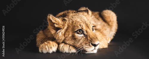 adorable lion cub lying isolated on black, panoramic shot